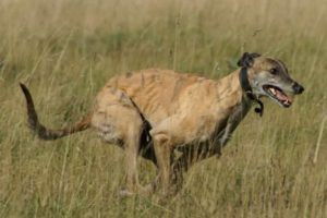 best dog breeds for runners-min